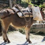 Donkey deliveries in Glossa