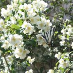 Swallowtail butterflies in Glossa, Skopelos