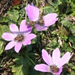 The aptly named windflower is much tougher than it looks and is one of the first to flower