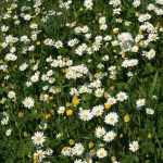 The countryside is carpeted in wild flowers from March to mid-May