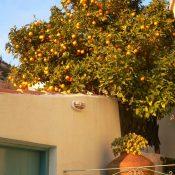 Orange tree in the winter sun