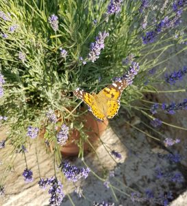 Painted Lady Butterfly and Lavendar